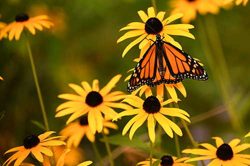 Butterfly on Black-eyed Susans