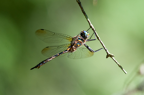 Hine's Emerald Dragonfly on a twig