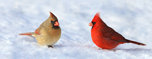 Male and Female Nothern Cardinals