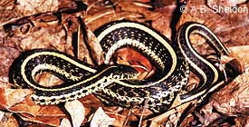 Plains Gartersnake