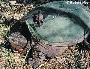 Adult and Baby Snapping Turtle
