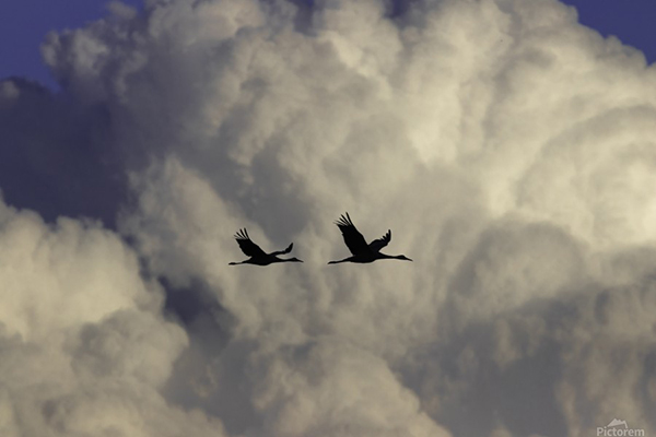 Silhouette of Sandhill Cranes flying, Photo Credit: Joe Riederer