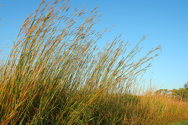 Big Bluestem with blue sky