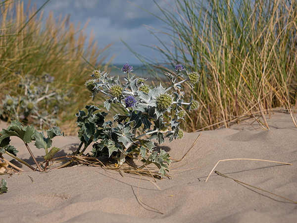 Dune Thistle in sand