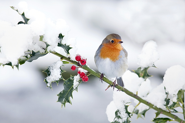 A Robin perched on a snowy tree