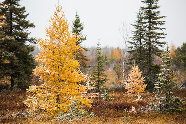 A Tamarack tree stands tall in it's fall dress of yellow with a dusting of snow on it's branches and needles