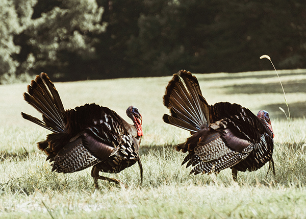 Two wild turkey in a feild