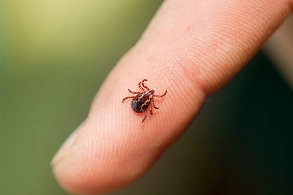 Wood tick on a finger
