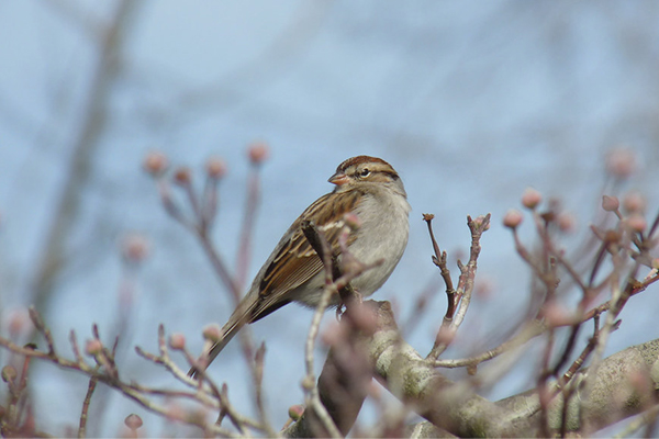 American Tree Sparrow in budding tree