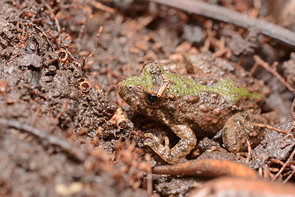 Blanchard's cricket frog in the mud