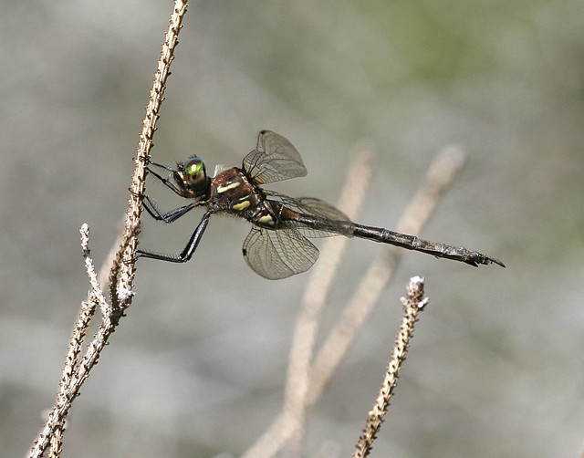 Hines emerald dragonfly on a twig