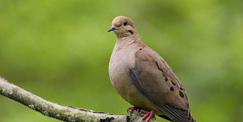 Perched Mourning Dove