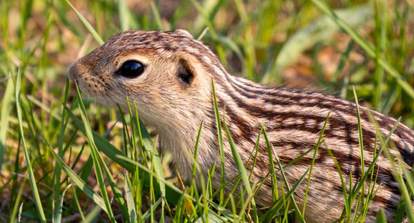 13-lined Ground Squirrel