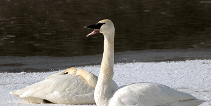 Trumpeter Swans on ice