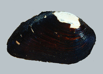 Elephant Mussel, Image Credit: Illinois Natural History Survey