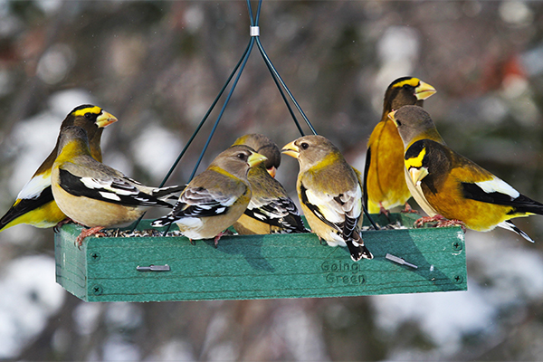 Evening Grosbeaks at a feeder, Image Credit: Ryan Brady
