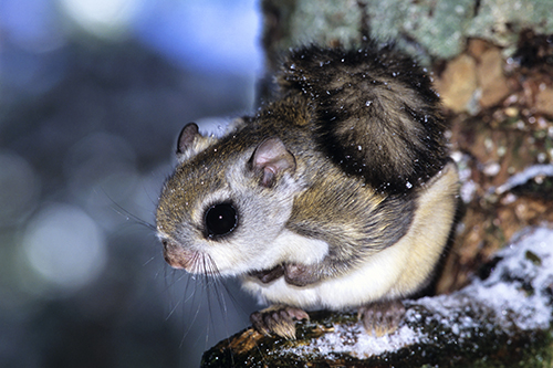 Perched Flying Squirrel