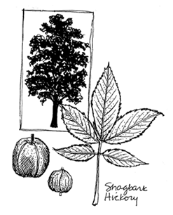 Illustration of hickory tree and leaf