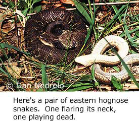 Here's a pair of eastern hog-nosed snakes. One is flaring its neck, one is playing dead