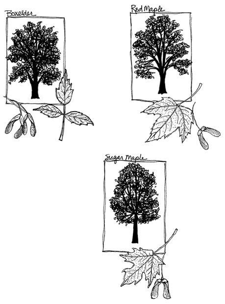 Illustration of maple trees and leaves