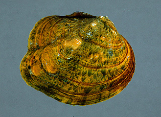 Monkeyface Mussel, Image Credit: Illinois Natural History Survey