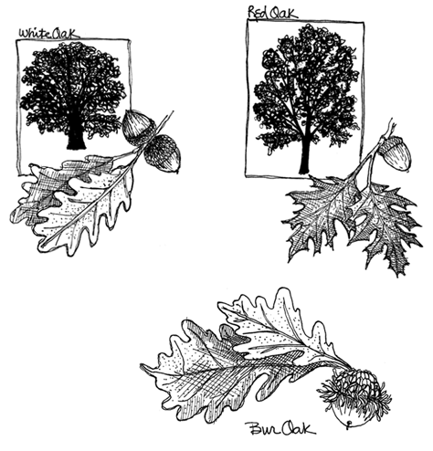 Illustration of different oak trees and leaves