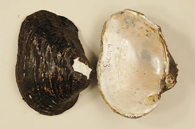 Rock Pocket-book Mussel, Image Credit: US Fish & Wildlife Service