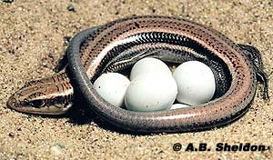 This female five-lined skink will guard her eggs until they hatch.