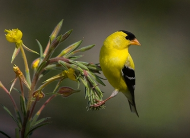 American Goldfinch on a branch