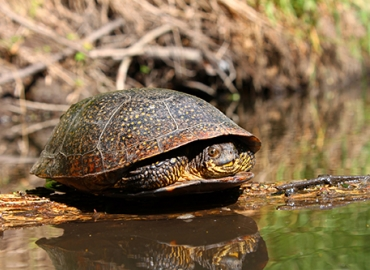 Blanding's Turtle on a log