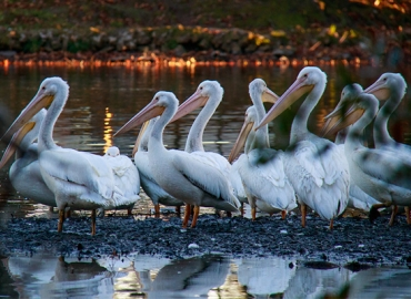 White pelicans on edge of water
