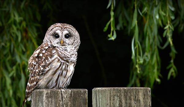 The Barred Owl Eek Wisconsin