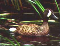 Blue-wing Teal (duck)