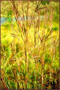 Big Bluestem Grass